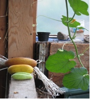 Cucumbers grown inside the Sustain Mizzou Research Garden's greenhouse. The compost gives the garden the nutrients it needs to be very productive.