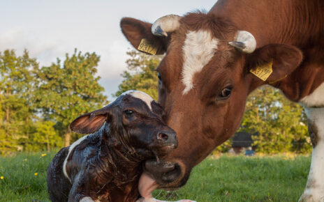 A mother cow with newborn calf