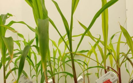 Image of corn plants with sensors from the study